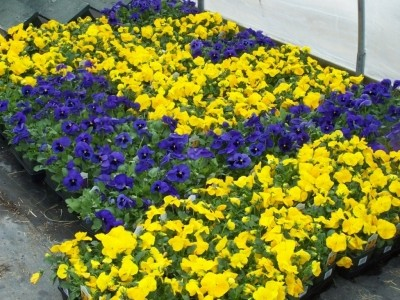 Yellow and Purple Annuals
