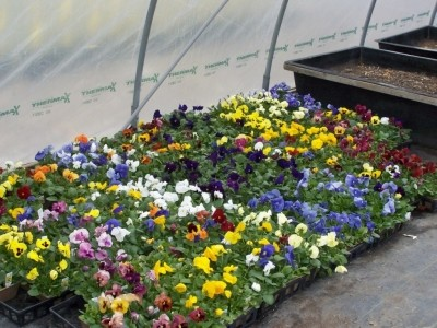 Colorful annuals - yellow, white, red, purple, blue